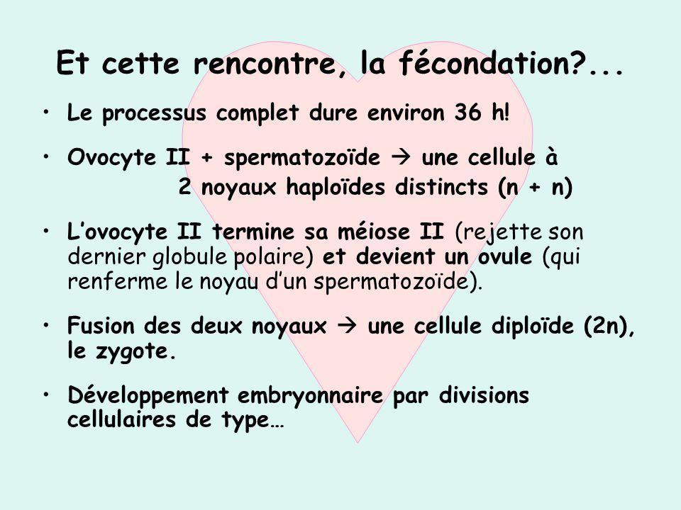 Et cette rencontre, la fécondation?... Le processus complet dure environ 36 h! Ovocyte II + spermatozoïde une cellule à 2 noyaux haploïdes distincts (