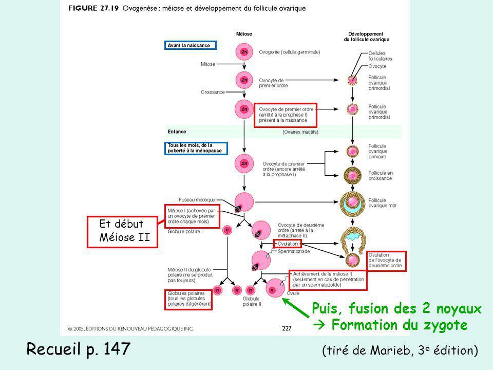 Recueil p. 147 (tiré de Marieb, 3 e édition) Puis, fusion des 2 noyaux Formation du zygote Et début Méiose II