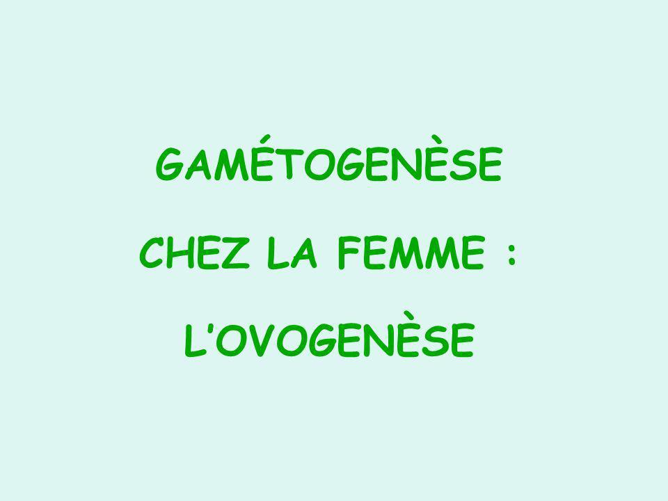 GAMÉTOGENÈSE CHEZ LA FEMME : LOVOGENÈSE