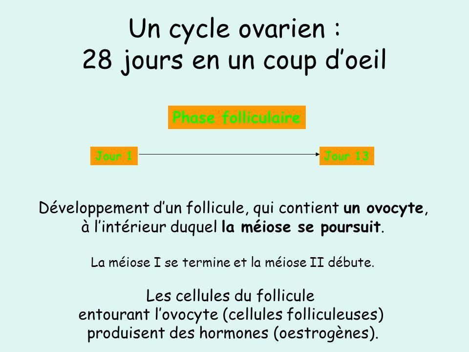 Un cycle ovarien : 28 jours en un coup doeil Jour 1Jour 13 Phase folliculaire Développement dun follicule, qui contient un ovocyte, à lintérieur duque