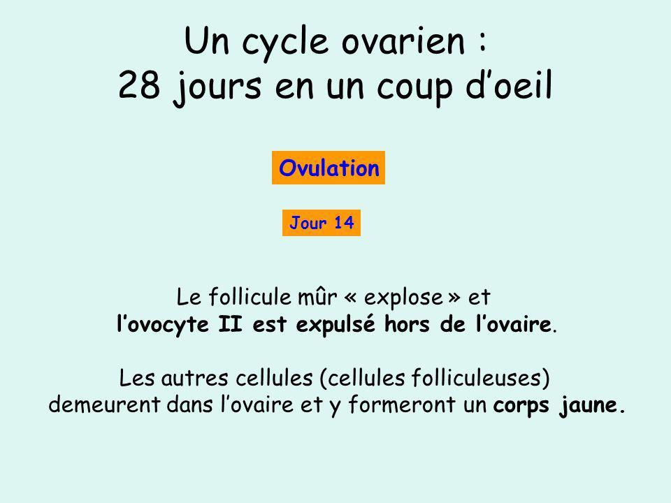 Un cycle ovarien : 28 jours en un coup doeil Jour 14 Ovulation Le follicule mûr « explose » et lovocyte II est expulsé hors de lovaire. Les autres cel