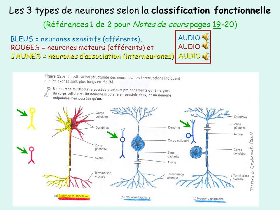JAUNES = neurones dassociation (interneurones) BLEUS = neurones sensitifs (afférents), ROUGES = neurones moteurs (efférents) et JAUNES = neurones dass