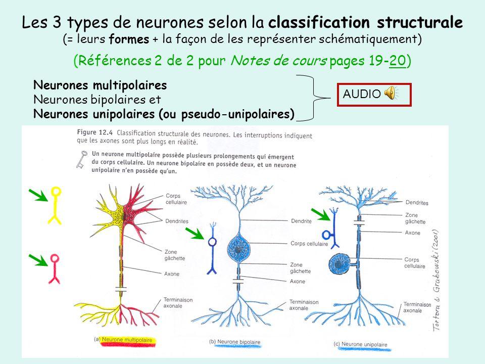 Les 3 types de neurones selon la classification structurale (= leurs formes + la façon de les représenter schématiquement) (Références 2 de 2 pour Not