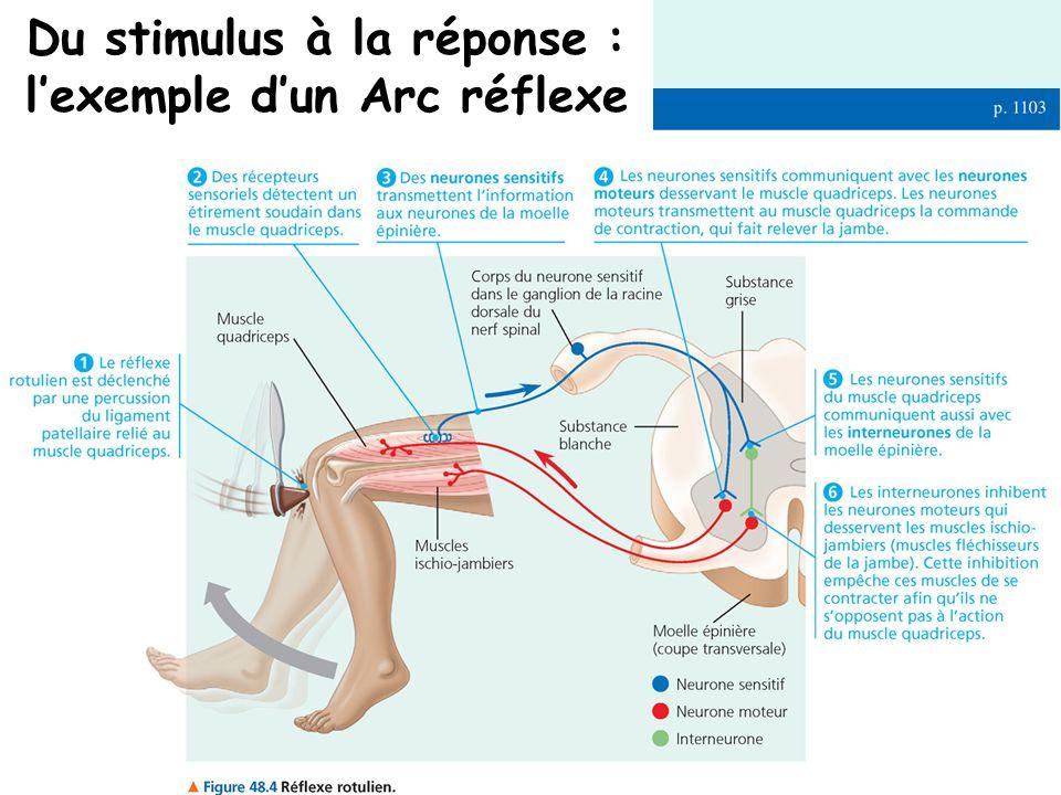 Du stimulus à la réponse : lexemple dun Arc réflexe