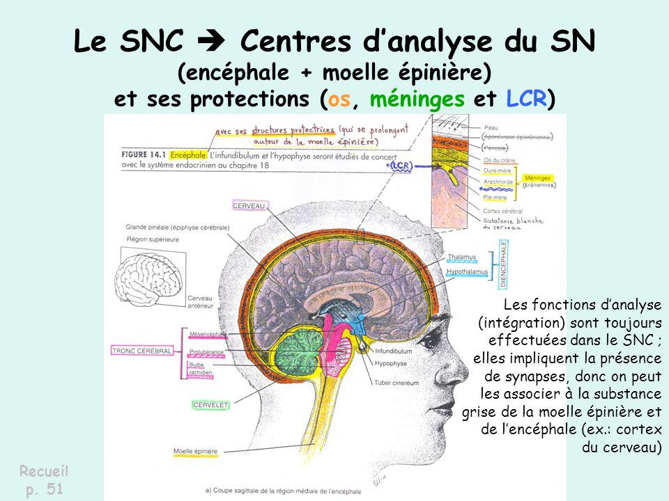 Le SNC Centres danalyse du SN (encéphale + moelle épinière) et ses protections (os, méninges et LCR) Recueil p. 51 Les fonctions danalyse (intégration