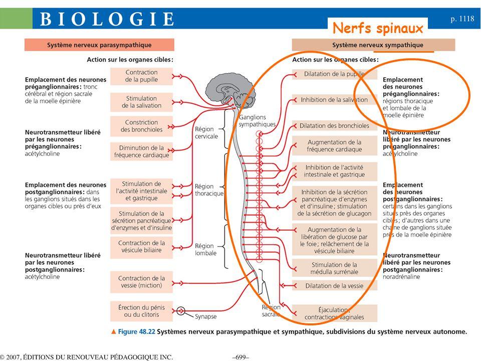 Nerfs spinaux