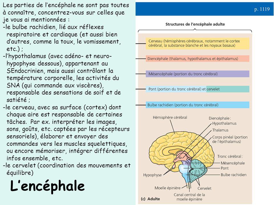 Lencéphale Les parties de lencéphale ne sont pas toutes à connaître, concentrez-vous sur celles que je vous ai mentionnées : -le bulbe rachidien, lié aux réflexes respiratoire et cardiaque (et aussi bien dautres, comme la toux, le vomissement, etc.) ; -lhypothalamus (avec adéno- et neuro- hypophyse dessous), appartenant au SEndocrinien, mais aussi contrôlant la température corporelle, les activités du SNA (qui commande aux viscères), responsable des sensations de soif et de satiété ; -le cerveau, avec sa surface (cortex) dont chaque aire est responsable de certaines tâches.