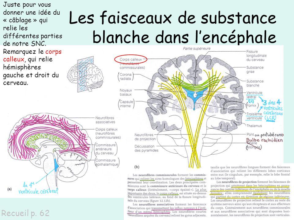 Les faisceaux de substance blanche dans lencéphale Recueil p. 62 Juste pour vous donner une idée du « câblage » qui relie les différentes parties de n