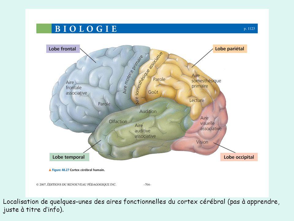 Localisation de quelques-unes des aires fonctionnelles du cortex cérébral (pas à apprendre, juste à titre dinfo).