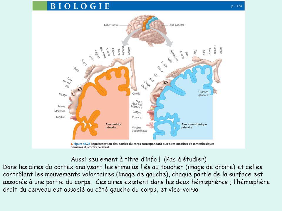 Aussi seulement à titre dinfo ! (Pas à étudier) Dans les aires du cortex analysant les stimulus liés au toucher (image de droite) et celles contrôlant