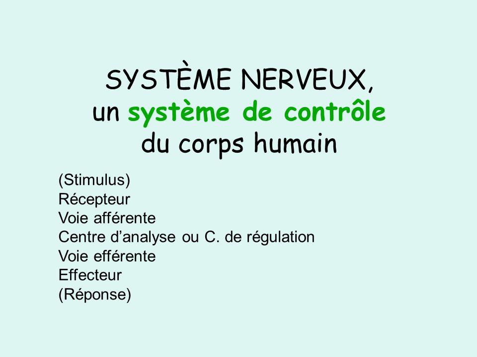 SYSTÈME NERVEUX, un système de contrôle du corps humain (Stimulus) Récepteur Voie afférente Centre danalyse ou C. de régulation Voie efférente Effecte