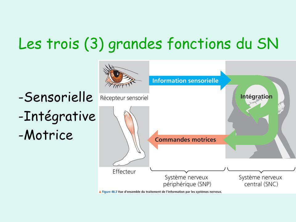 Le contrôle des viscères par le SNA Autonome (inconscient, involontaire) Deux divisions : sympathique et parasympathique Effets antagonistes (contraires) La situation détermine laquelle « commande »