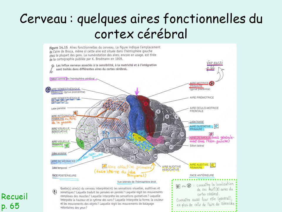 Cerveau : quelques aires fonctionnelles du cortex cérébral Recueil p. 65