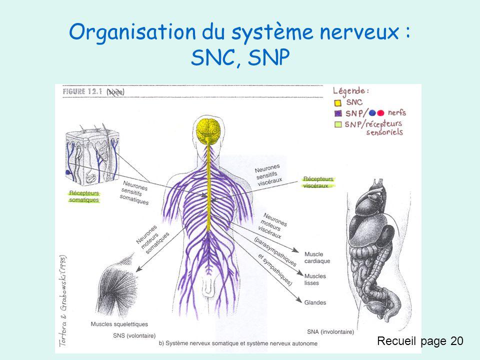 Dans une voie afférente, il y a toujours… -Neurone sensitif dans un nerf (spinal ou crânien) Dans une voie efférente, il y a toujours… -Neurone(s*) moteur(s*) (du SNS ou du SNA*) dans un nerf (spinal ou crânien) Recueil page 20