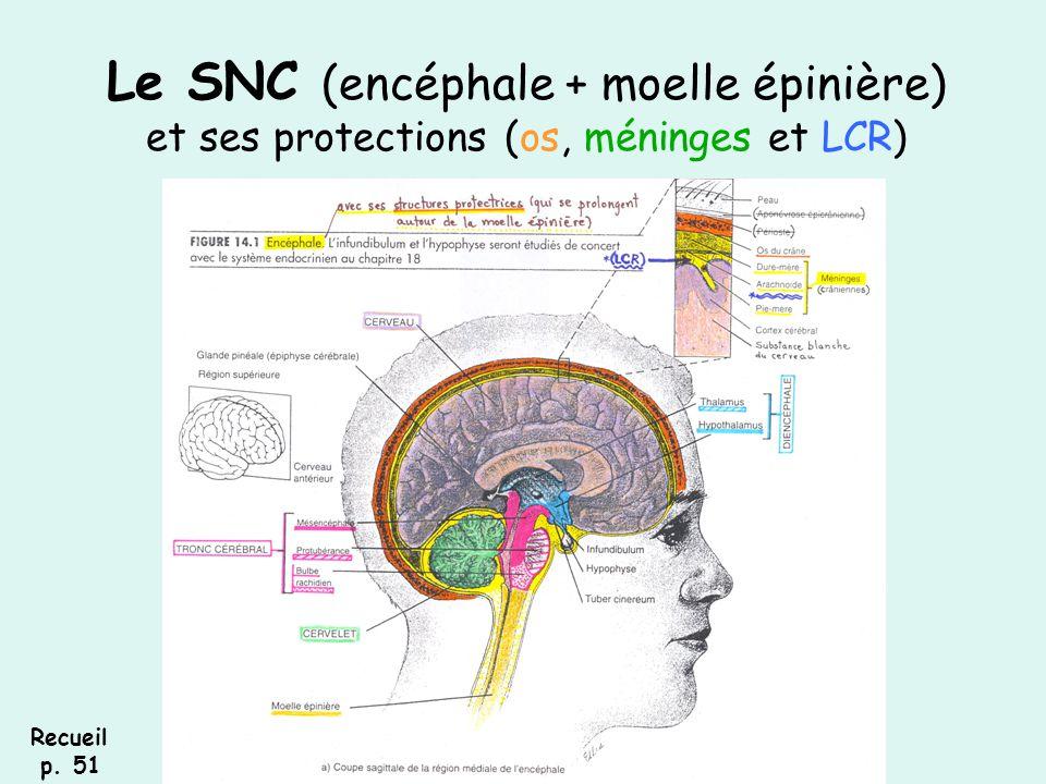 Le SNC (encéphale + moelle épinière) et ses protections (os, méninges et LCR) Recueil p. 51
