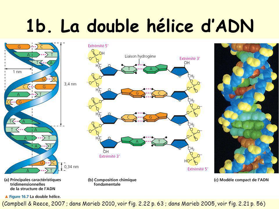 1b.La double hélice dADN (Campbell & Reece, 2007 ; dans Marieb 2010, voir fig.