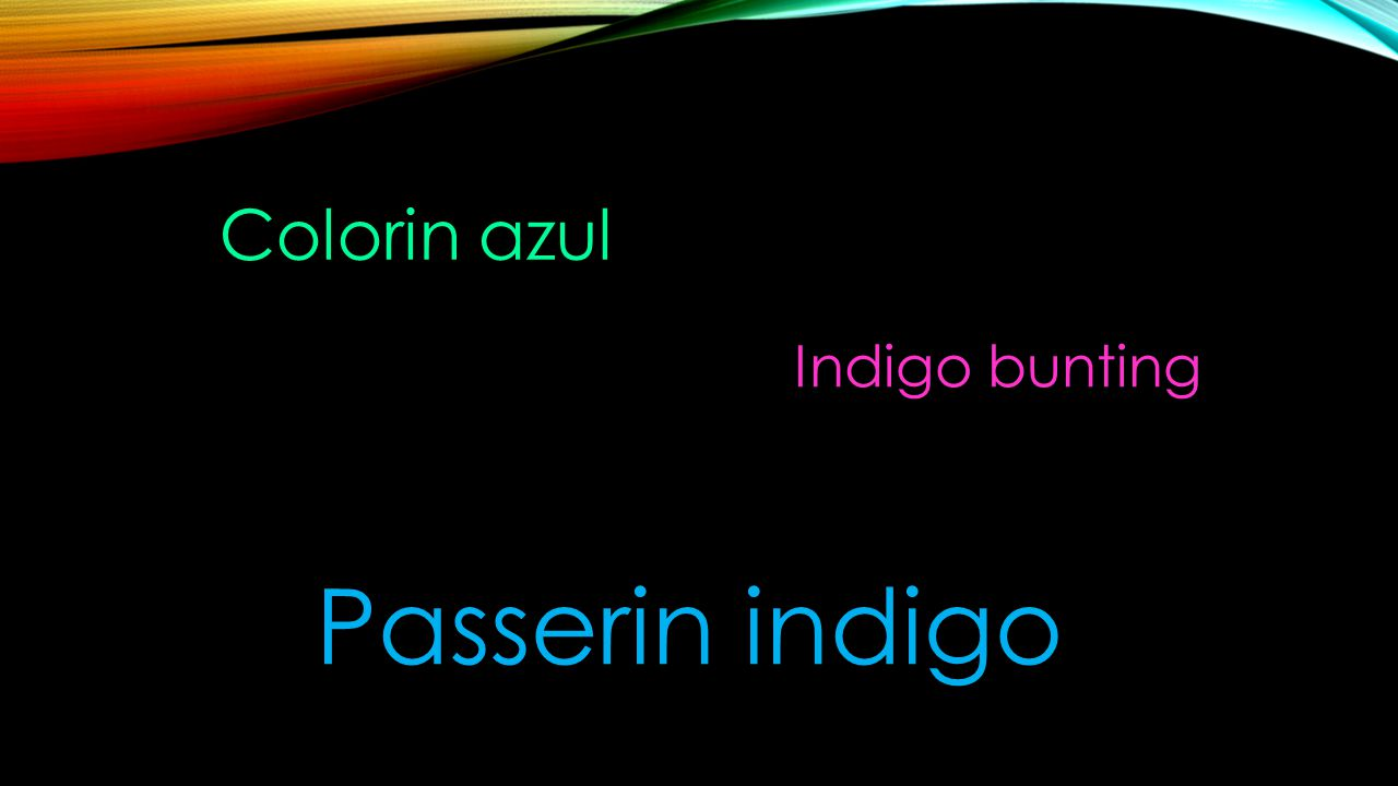 Colorin azul Indigo bunting Passerin indigo