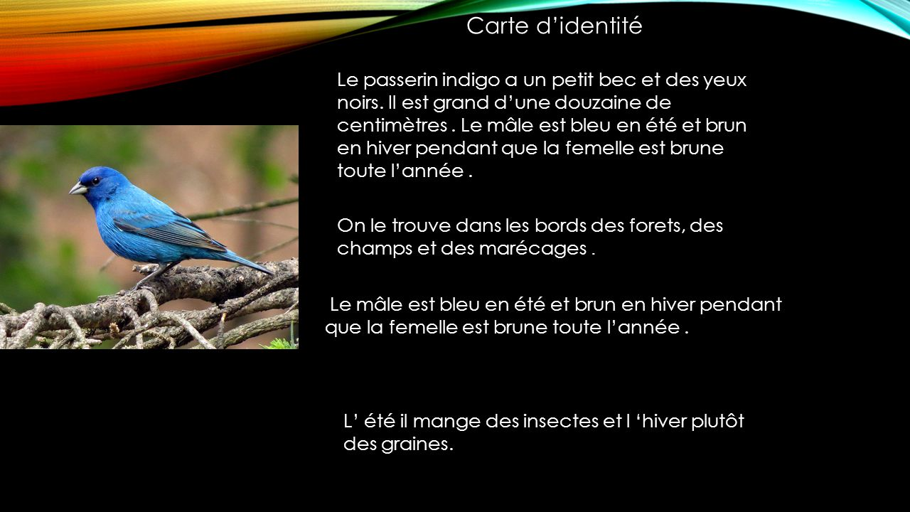 Le passerin indigo a un petit bec et des yeux noirs.