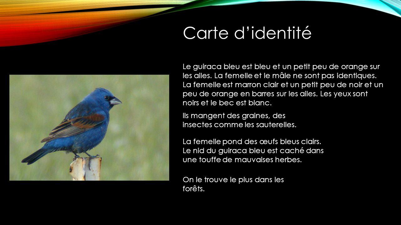 Le guiraca bleu est bleu et un petit peu de orange sur les ailes.