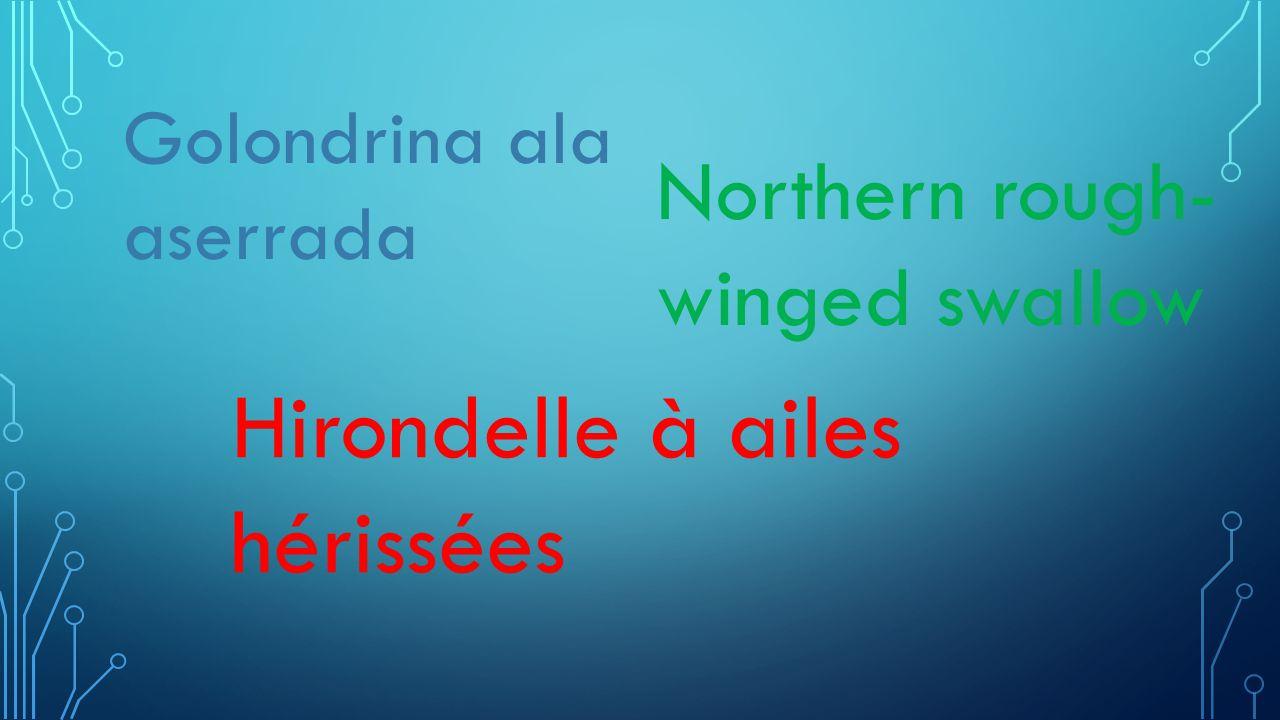 Golondrina ala aserrada Northern rough- winged swallow Hirondelle à ailes hérissées