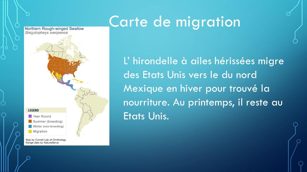 Carte de migration L hirondelle à ailes hérissées migre des Etats Unis vers le du nord Mexique en hiver pour trouvé la nourriture.