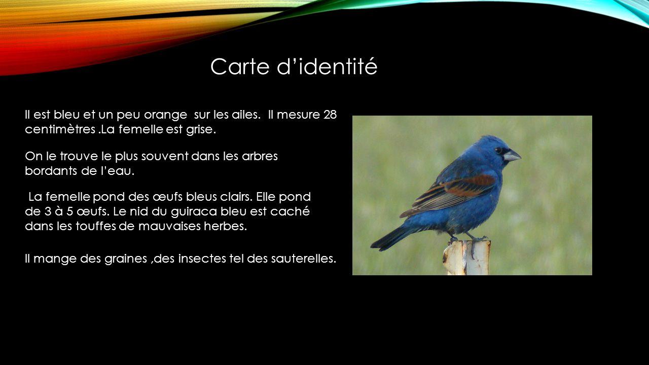 Picogordo azul Blue grosbeak Guiraca bleu