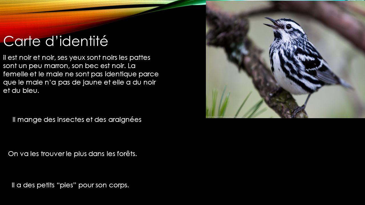 Mniotilta varia Black-and-white warbler Paruline noir et blanc
