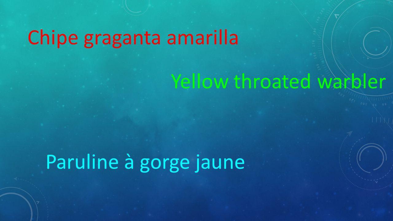 Chipe graganta amarilla Yellow throated warbler Paruline à gorge jaune