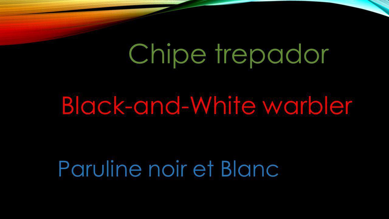 Chipe trepador Black-and-White warbler Paruline noir et Blanc