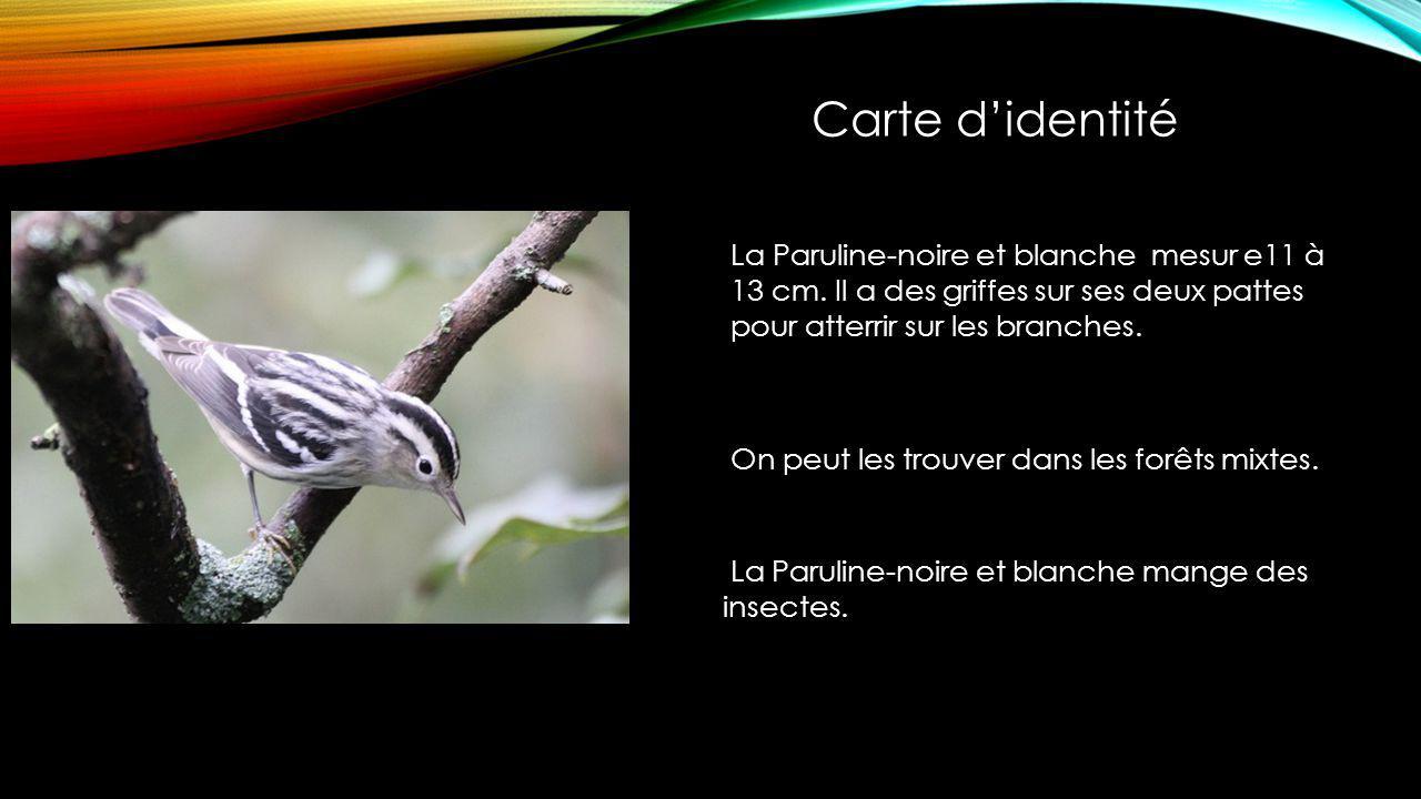 La Paruline-noire et blanche mesur e11 à 13 cm.