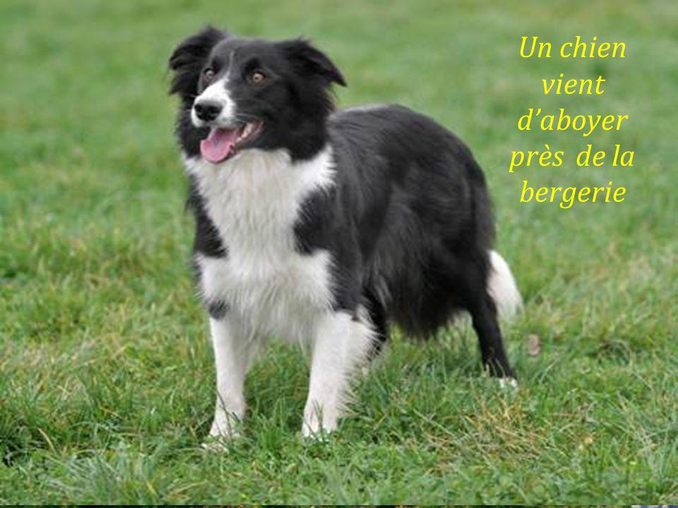 Un chien vient daboyer près de la bergerie