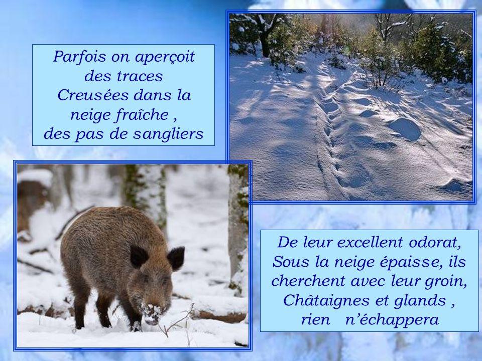 Parfois on aperçoit des traces Creusées dans la neige fraîche, des pas de sangliers De leur excellent odorat, Sous la neige épaisse, ils cherchent avec leur groin, Châtaignes et glands, rien néchappera