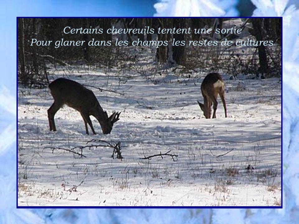 champs les Certains chevreuils tentent une sortie Pour glaner dans les champs les restes de cultures
