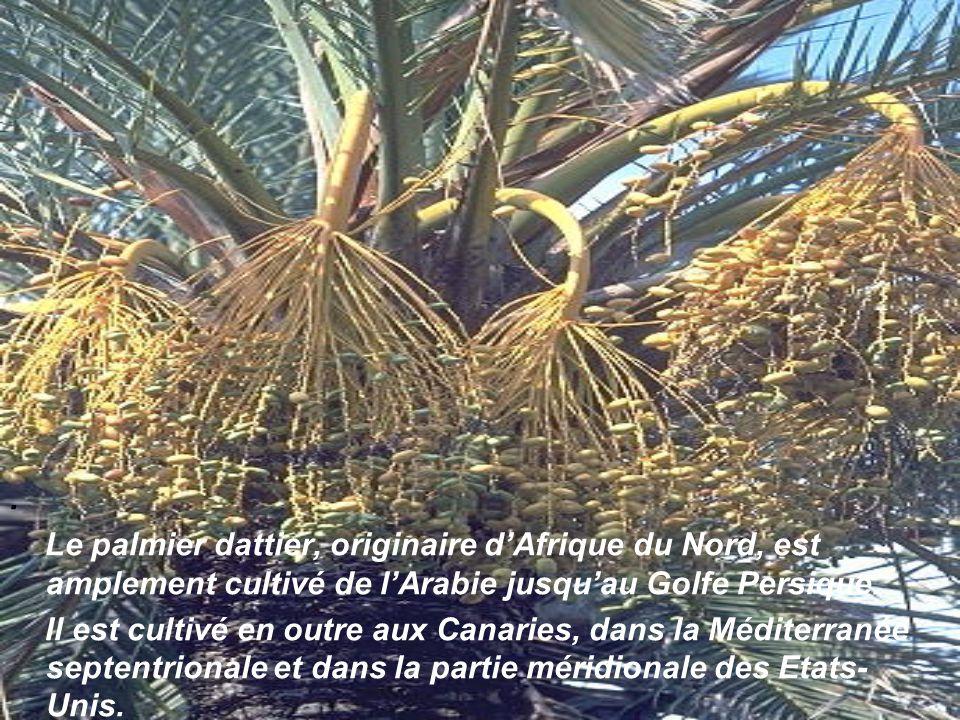 Les fruits des palmiers sont des drupes ou des baies, aux formes et dimensions extrêmement variables.