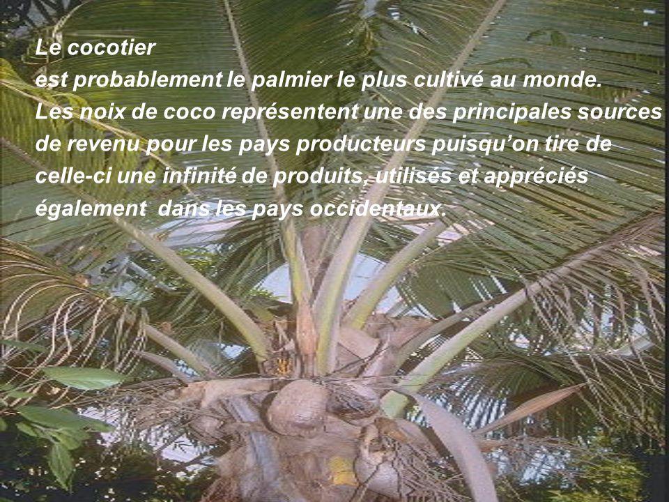 . Le palmier dattier, originaire dAfrique du Nord, est amplement cultivé de lArabie jusquau Golfe Persique. Il est cultivé en outre aux Canaries, dans