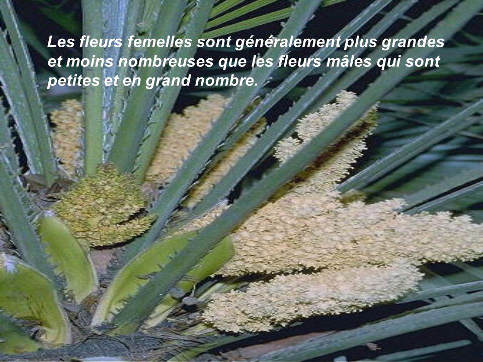 Le cocotier est probablement le palmier le plus cultivé au monde. Les noix de coco représentent une des principales sources de revenu pour les pays pr