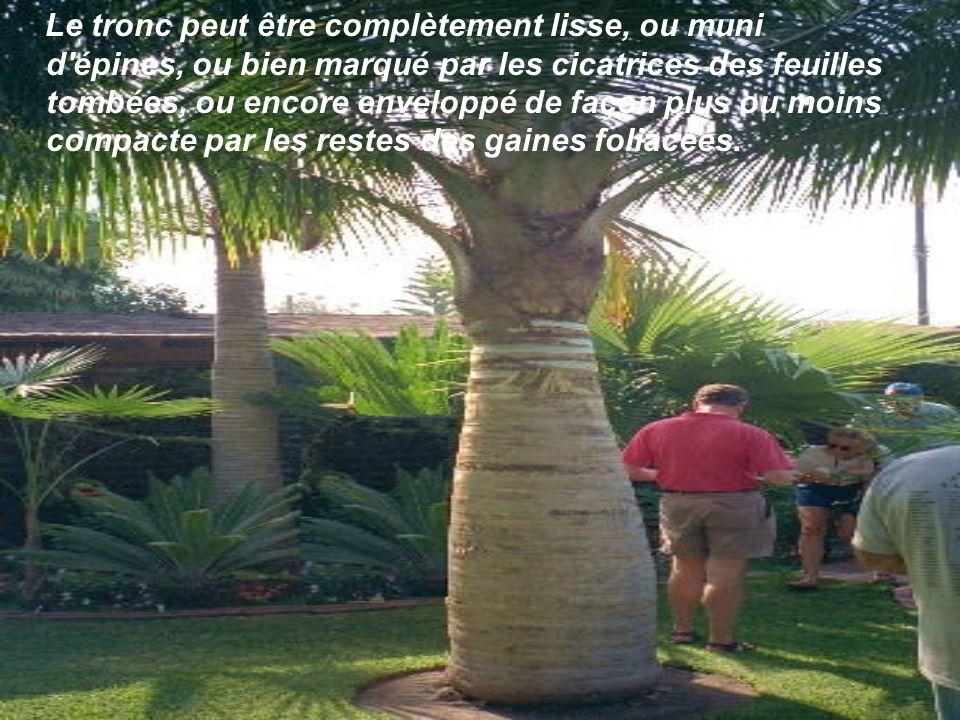 Les palmiers, définis comme