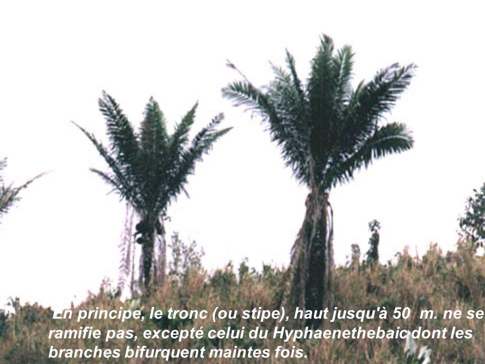 Le tronc peut être complètement lisse, ou muni d'épines, ou bien marqué par les cicatrices des feuilles tombées, ou encore enveloppé de façon plus ou
