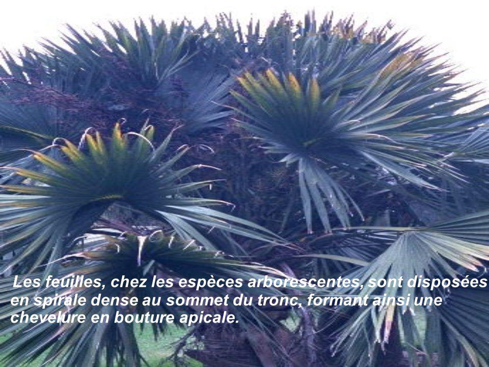 En principe, le tronc (ou stipe), haut jusqu'à 50 m. ne se ramifie pas, excepté celui du Hyphaenethebaic dont les branches bifurquent maintes fois.