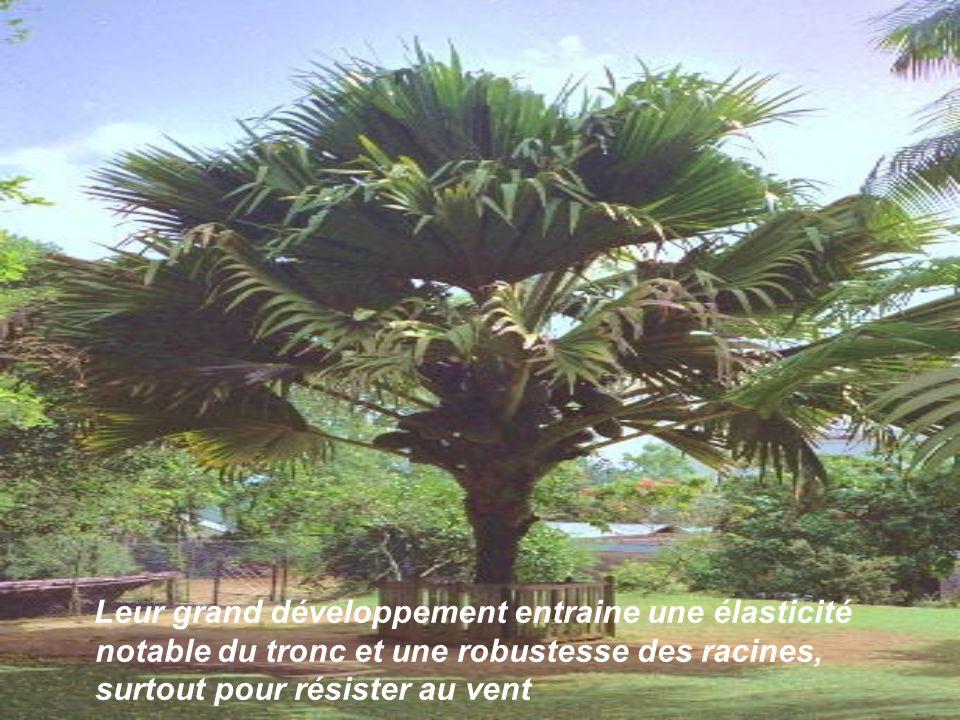 Les feuilles, chez les espèces arborescentes, sont disposées en spirale dense au sommet du tronc, formant ainsi une chevelure en bouture apicale.