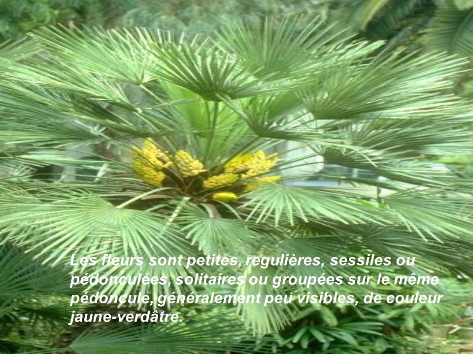 Leur grand développement entraine une élasticité notable du tronc et une robustesse des racines, surtout pour résister au vent