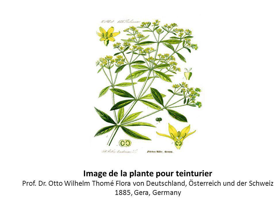 Image de la plante pour teinturier Prof. Dr. Otto Wilhelm Thomé Flora von Deutschland, Österreich und der Schweiz 1885, Gera, Germany