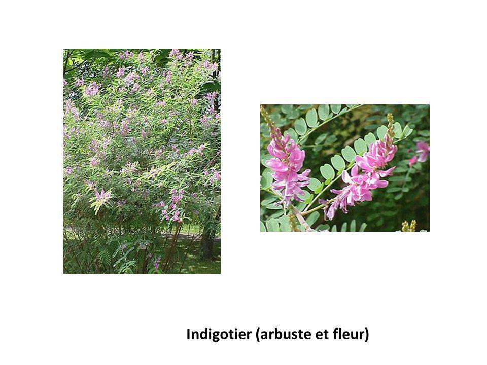 Indigotier (arbuste et fleur)