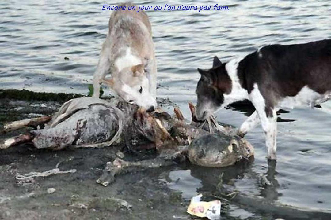 Les chiens attendent le repas.