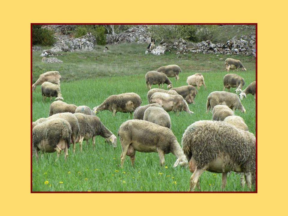 Brebis laitières de la Couvertoirade. Leur lait sera transformé en « pérail » familial (petit fromage frais à croûte fleurie) ou en Roquefort.