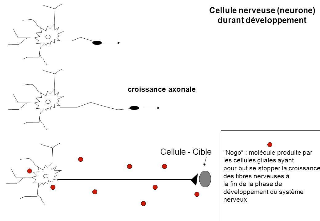Cellule nerveuse (neurone) durant développement Cellule - Cible croissance axonale