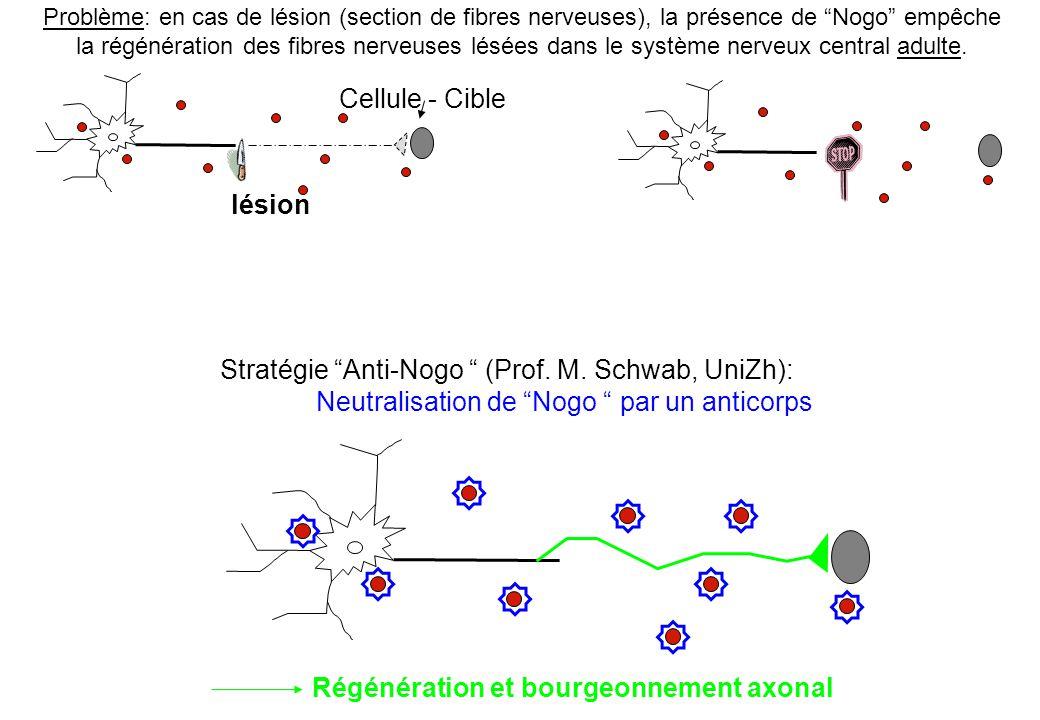Problème: en cas de lésion (section de fibres nerveuses), la présence de Nogo empêche la régénération des fibres nerveuses lésées dans le système nerv