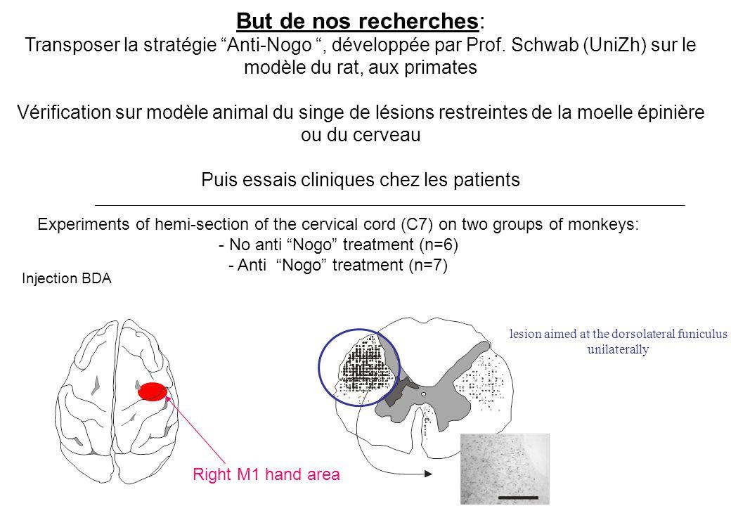 But de nos recherches: Transposer la stratégie Anti-Nogo, développée par Prof. Schwab (UniZh) sur le modèle du rat, aux primates Vérification sur modè