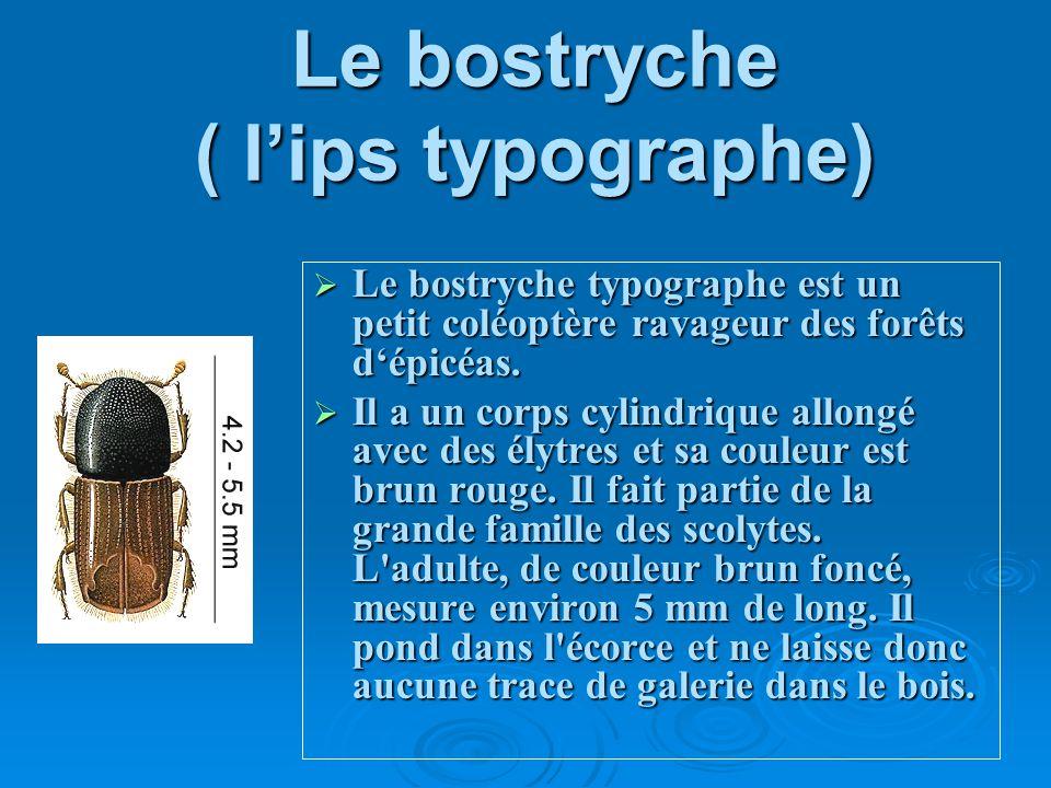 Le bostryche ( lips typographe) Le bostryche typographe est un petit coléoptère ravageur des forêts dépicéas. Il a un corps cylindrique allongé avec d