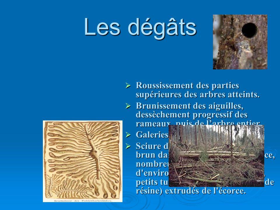 Les dégâts Roussissement des parties supérieures des arbres atteints. Brunissement des aiguilles, dessèchement progressif des rameaux, puis de larbre
